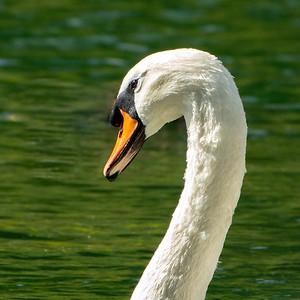 16_Swan head_Yvonne Marr