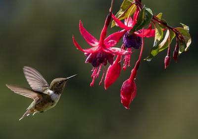 Volcano Hummingbird with fuchsia