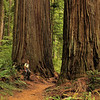 OLD-T2-Bill Bower-Ancient Redwood Forest