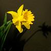 Springtime Trumpet