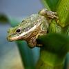 Less-T3-John German-Tree Frog