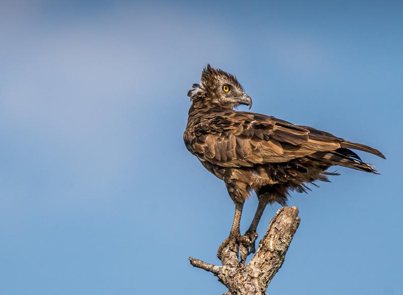 Less-T2-Darryll Benecke-Snake Eagle