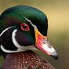 Less-T1-2nd-Tom Batts-Dandy Duck