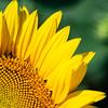 Less-T3-John German-Sunflower