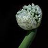 Less-T3-Neva Scheve-Onion Head