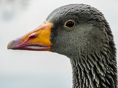 goosey profile