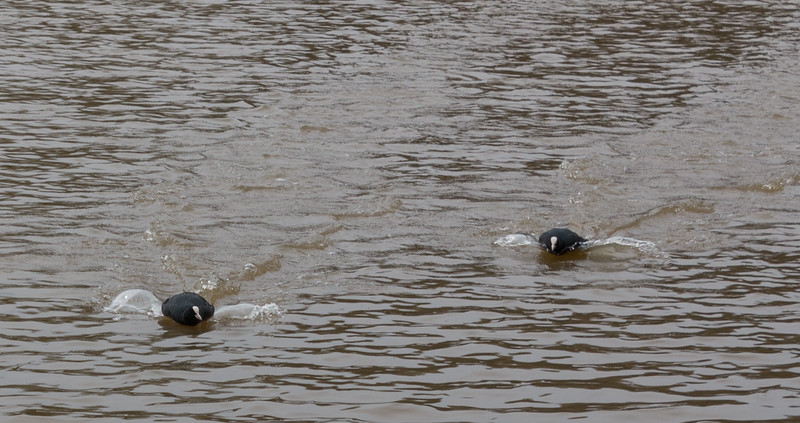 Racing Coots