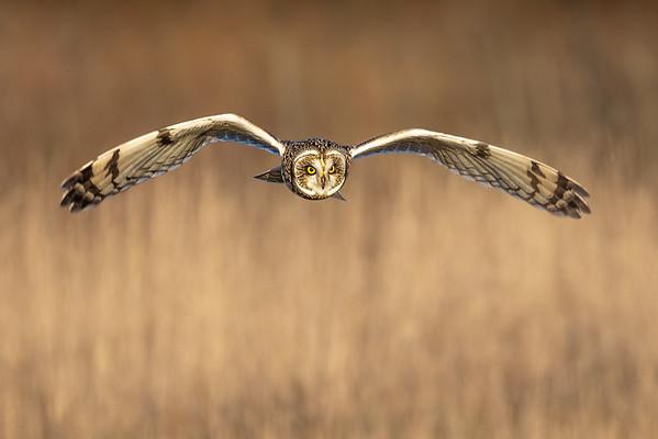 Short Eared Owl_Annie Nash