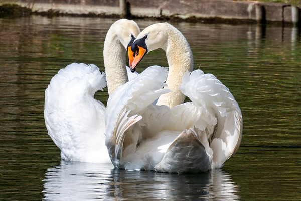 Swans - Love is in the air_Yvonne Marr