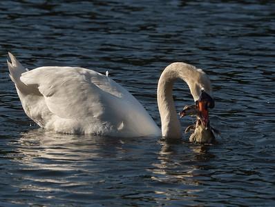 Swan v. Greylag gosling