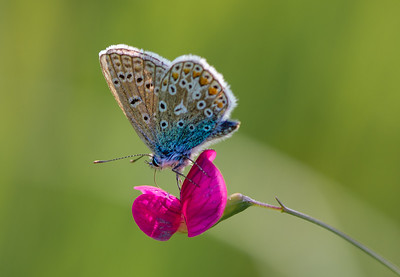 LARGE BLUE BUTTERFLY_Annie Nash