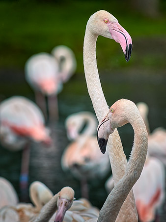 Rising Above the Clamour - Greater Flamingo