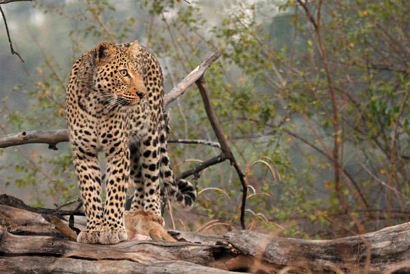 Annie Nash - Wild leopard on a kill 1