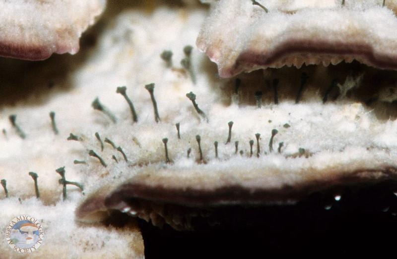 Trichaptum biformis and Phaeocalicium polyporaeum