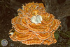 Laetiporus sulfureus