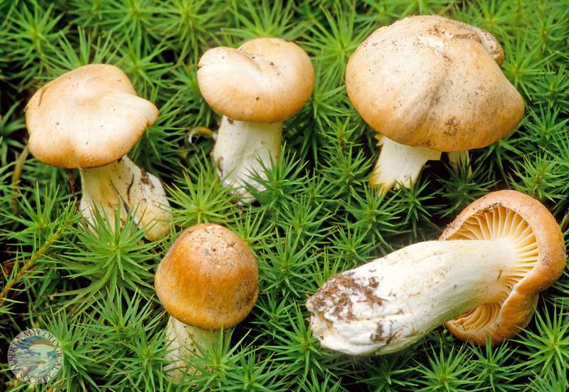 Hygrophorus pratensis