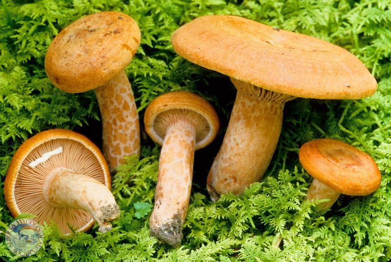 Lactarius peckii