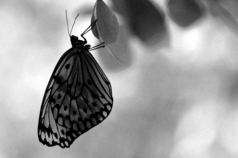 """black and white butterfly""<br /> <br /> a 2006 winner in the Southern Shutters photography contest @ the Clay House Museum in Madison AL"