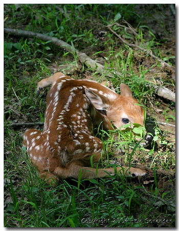 """""""Newborn Fawn""""<br /> by Eric Sorensen<br /> 1st place, Small-Color 2007 Annual Competition"""