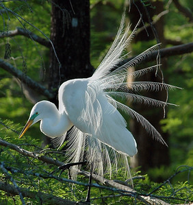 Great Egret First Place Winner in Nature By: Reese Hood 2007 Annual Competition