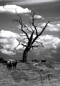 Pasture Scene By: Wilfred Smith Catagory: Small Black & White 2ond Place 2008 Annual Competition