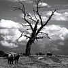 Pasture Scene<br /> By: Wilfred Smith<br /> Catagory: Small Black & White<br /> 2ond Place 2008 Annual Competition