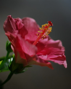 Pink Hibiscus by Marilyn Hammett Category:  Small Color 1st Place 2008 Annual Competition
