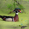 Wood Duck swimming<br /> By:  Wayne Tabor<br /> First Place<br /> Nature