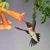 Rubby Throated Hummingbird<br /> By Wilfred Smith<br /> 3rd Place<br /> Nature