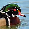 Macro/Close Up, First Honorable Mention - Don Angle - Wood Duck Drake