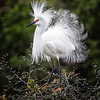 Picture of the Year - Wayne Tabor - Snowy Egret in Mating Plumage