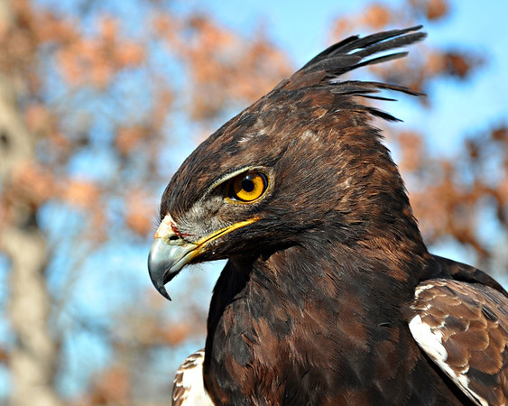 Macro/Close Up, Second Honorable Mention - Don Angle - Long Crested Eagle