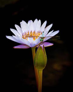 Macro/Close Up, Third Place - Linda Holloway - Dragonfly on Lotus
