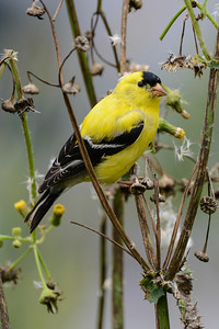 Wildlife, Second Honorable Mention - Jim Lawrence - Gold Finch