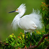 2014 IMAGE OF THE YEAR: <br /> Snowy Egret: by Dwayne Anders: 20 Points: