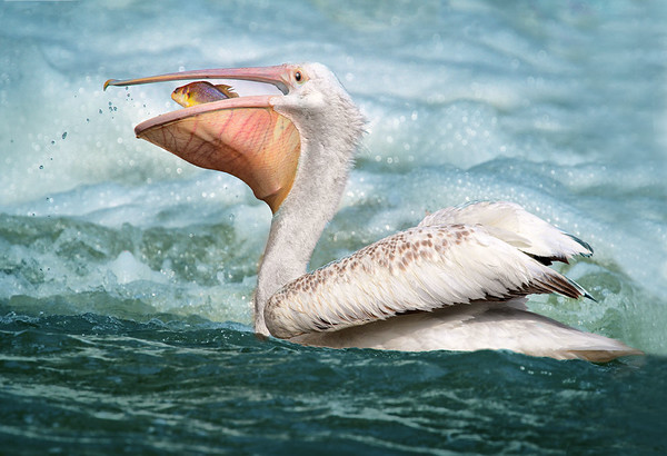 WILDLIFE: FIRST PLACE: Pelican with fish: by Dale Lindenberg: 20: