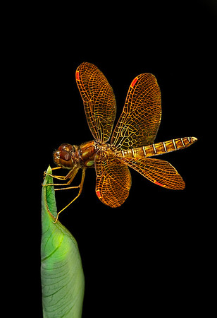 MACRO/CLOSE UP: THIRD PLACE: Dragon Fly on Flower: by Dale Lindenberg: 19: