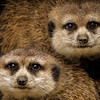 PICTORIAL: FIRST PLACE: Meerkats: by Dale Lindenberg: 20: