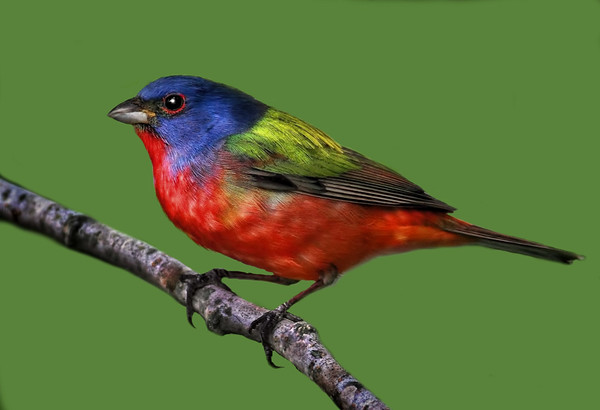 WILDLIFE: THIRD PLACE: Painted Bunting: by Dale Lindenberg: 19.4: