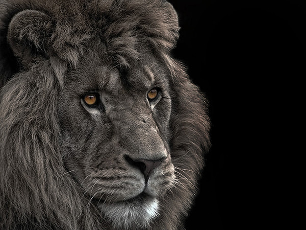 PICTORIAL: FIRST HONORABLE MENTION: Cowardly Lion: by Tony Austin: 19.6: