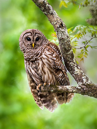 WILDLIFE: FIRST HONORABLE MENTION: Lake Martin Owl: by Dwayne Anders: 19.3: