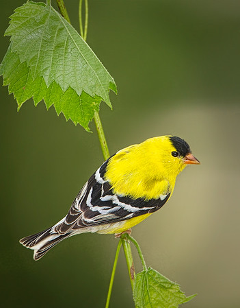 WILDLIFE: SECOND PLACE: Gold Finch Male: by Wayne Tabor: 20: