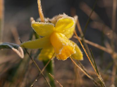 Caver Wild Daffodil