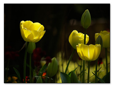 Crafty snapper Tulips