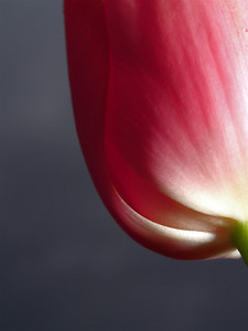 jjneff Tulip