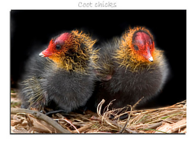 Fonzy coot chicks