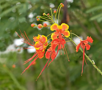 Villanova Pride of Barbados