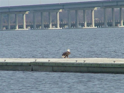 Bald Eagle on floating docks, Cambridge, Md.