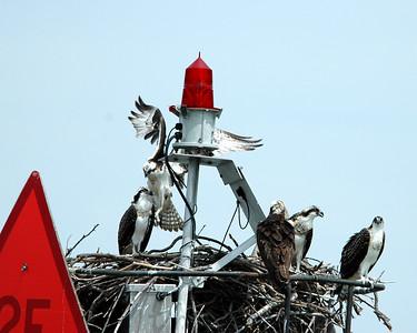 Ospreys take over aid to navigation