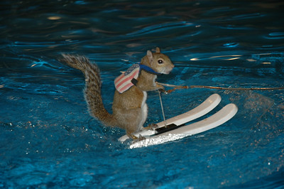 Twiggy the waterskiing squirrel wears a life jacket.